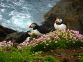 PUFFINS! Shetland Islands, Scotland 2011