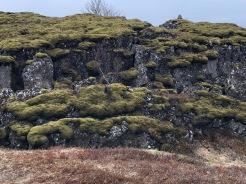 Glorious Moss at Þingvellir National Park, Iceland